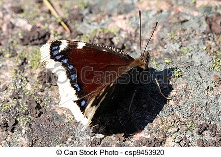Stock Photography of Nymphalis antiopa butterfly (Mourning Cloak.