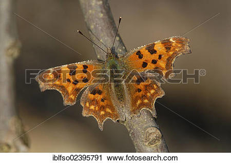 "Stock Photography of ""Comma (Polygonia c."