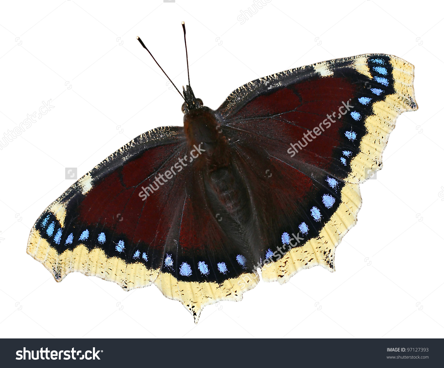 Camberwell Beauty (Nymphalis Antiopa) Butterfly Is Also Called The.