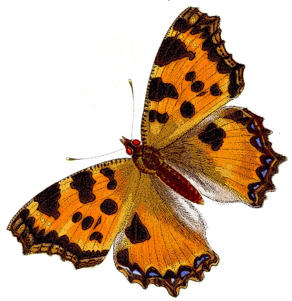 Nymphalis polychloros Large Tortoiseshell British extinct.
