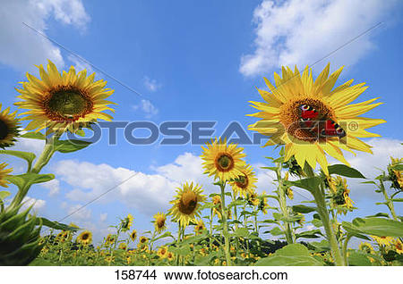 Stock Photo of Peacock butterfly on the blossom of a sunflower.
