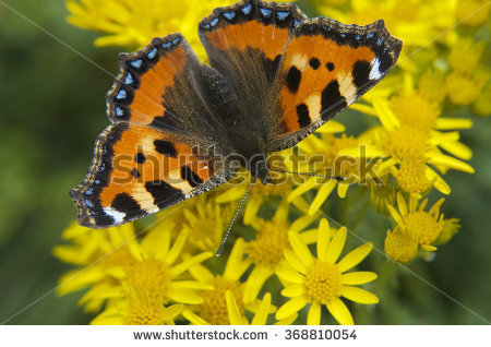 Small Tortoiseshell White Stock Photos, Images, & Pictures.