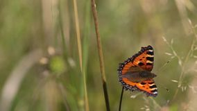 Butterfly Small Tortoiseshell ( Aglais Urticae, Nymphalis Urticae.