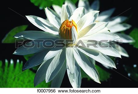 Stock Images of Water lily (Nymphea) f0007956.