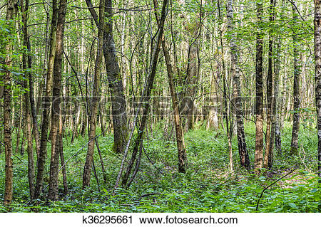 Stock Photography of scenic oak forest k36295661.