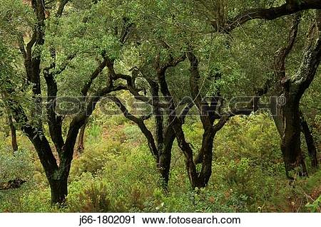 Stock Photography of Cork oak forest in the Natural Park Sierra.