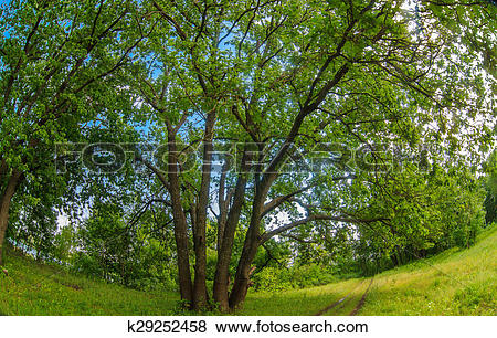 Pictures of Russian landscape green oak forest old branches broad.