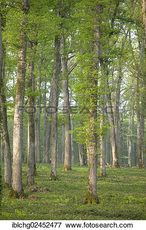 """Picture of """"Oak forest of Moladiers towards Moulins, Sessile oaks."""
