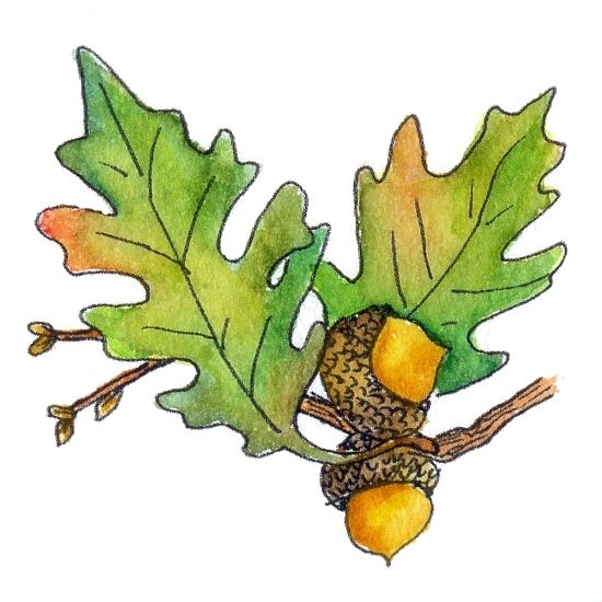 Gallery For > Oak Leaf And Acorn Clip Art.