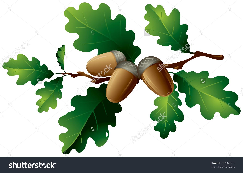 Oak Tree Branch Leaves Acorns Vector Stock Vector 87760447.