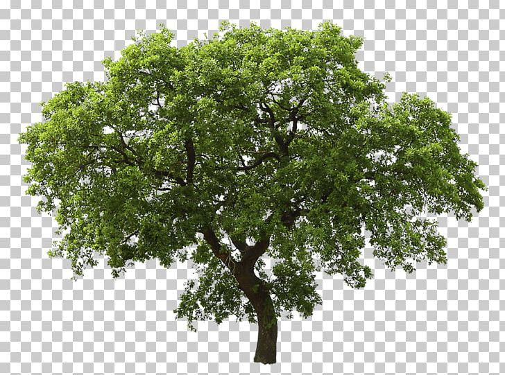 Tree Oak PNG, Clipart, Action, Animal, Architectural.