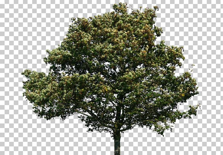 Quercus Suber Tree Swamp Spanish Oak PNG, Clipart, Art.