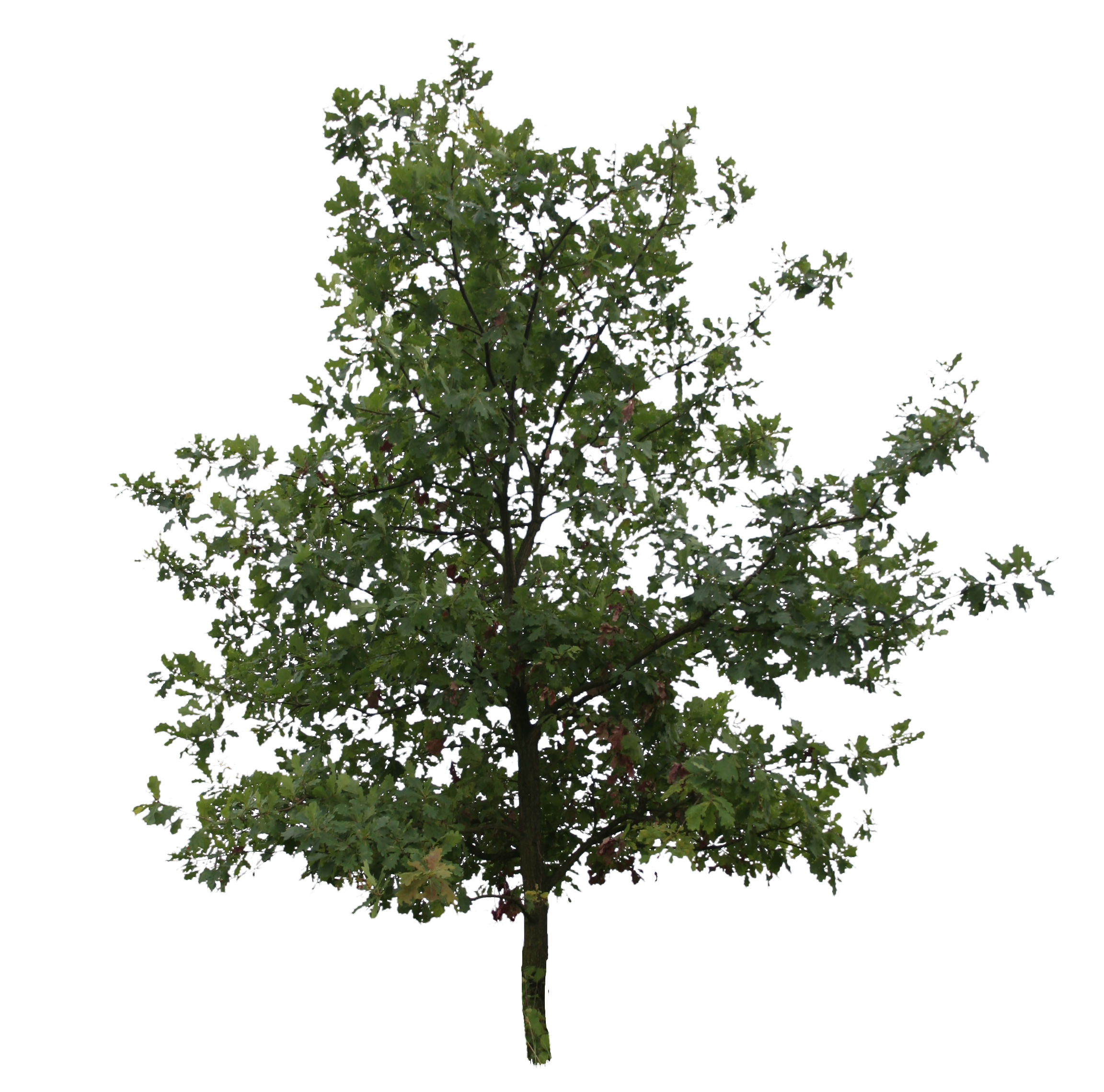 Oak Tree Png. Young Free Cut Out Clip Ar #56104.