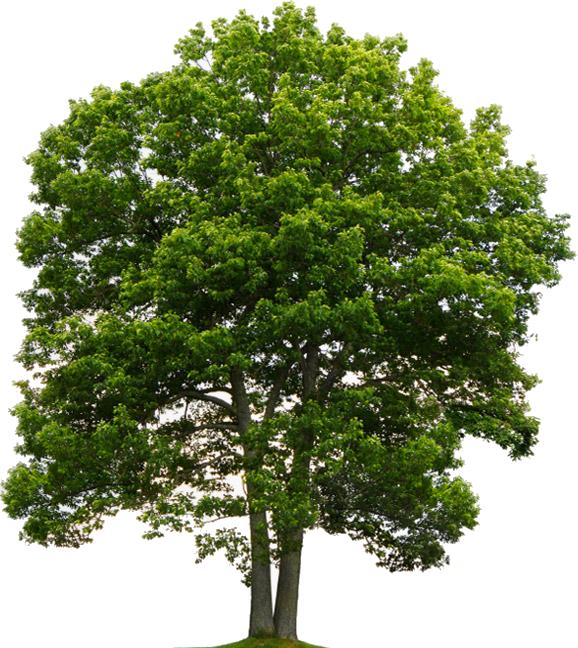 Oak PNG Transparent Images, Pictures, Photos.