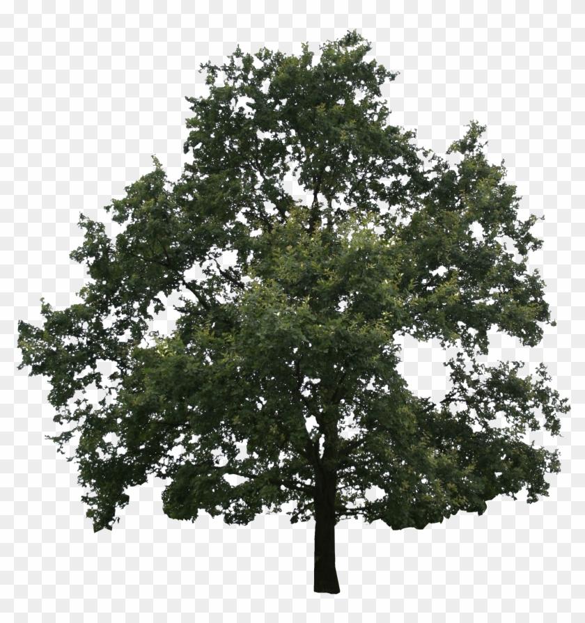 Oak Tree Png (55+ images).