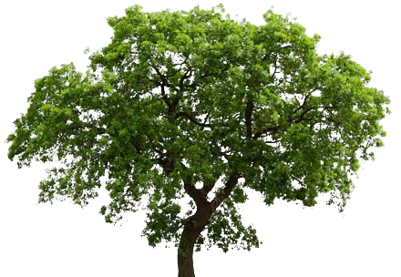 English Oak Tree transparent background.