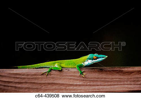 Pictures of Wall lizard. Oak Ridge. RoatBn. Bay Islands. Honduras.