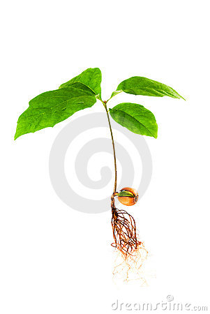 Oak Tree Seedling With Roots Stock Image.