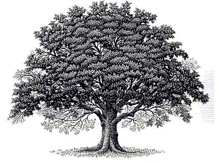 Black oak tree clipart.