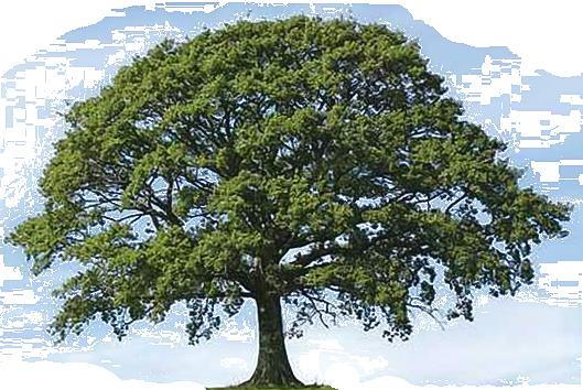 Oak Tree Clip Art & Oak Tree Clip Art Clip Art Images.