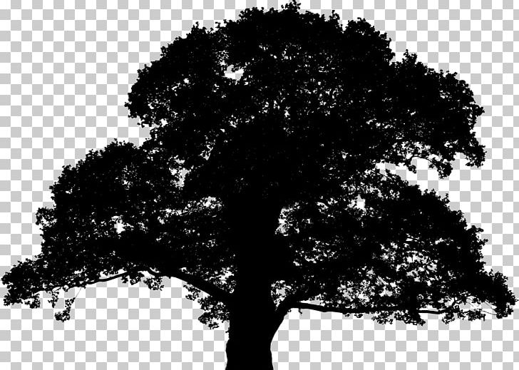 English Oak Sessile Oak Tree Silhouette PNG, Clipart, Black.