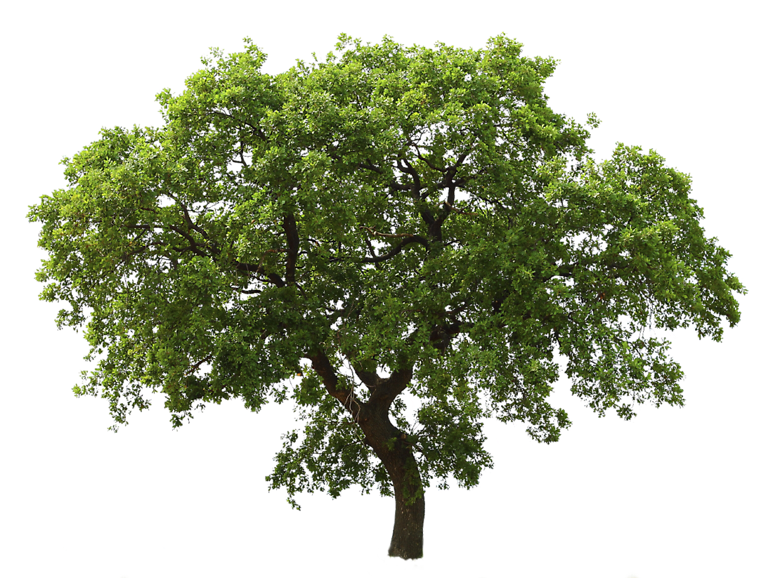 Trees Png (+).