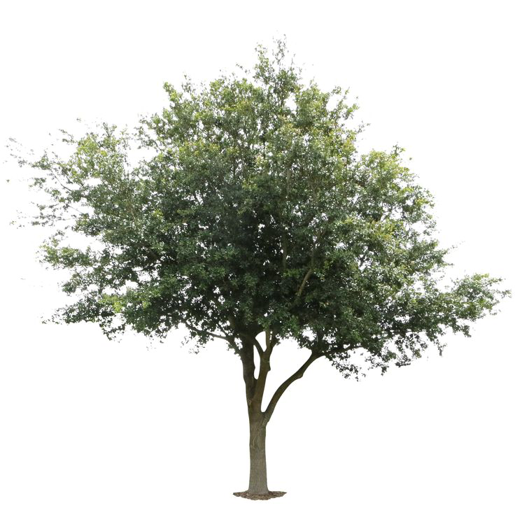 Oak Tree Png Picture Free Download #56105.