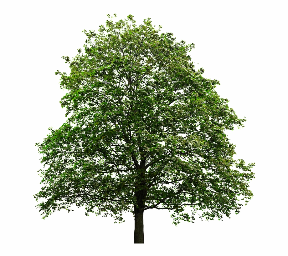 Maple Tree Png.