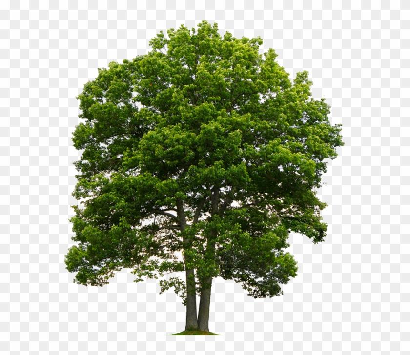 Oak Tree Png, Transparent Png.