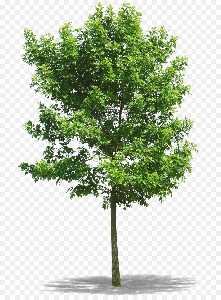 Oak Tree Png (104+ images in Collection) Page 3.