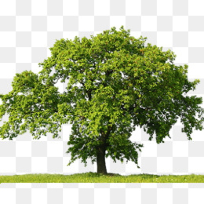Oak Tree Png.