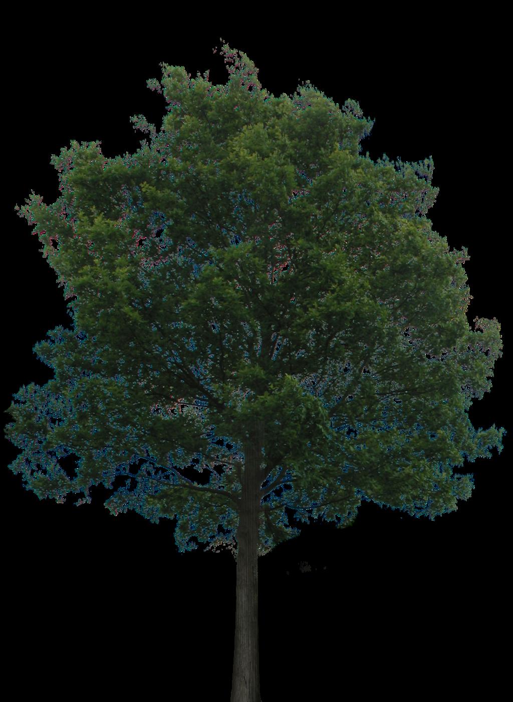 Oak Realistic Clipart For Photoshop Transparent Background.