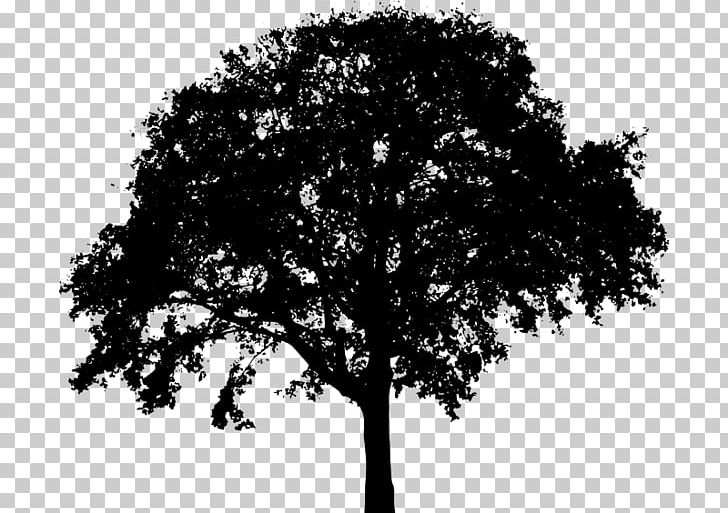 Tree Silhouette Oak PNG, Clipart, Black And White, Branch.