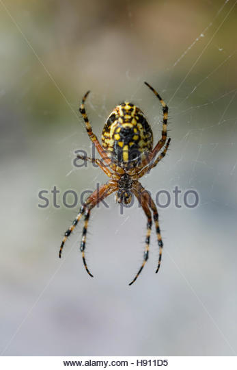 Oak Spider Stock Photos & Oak Spider Stock Images.