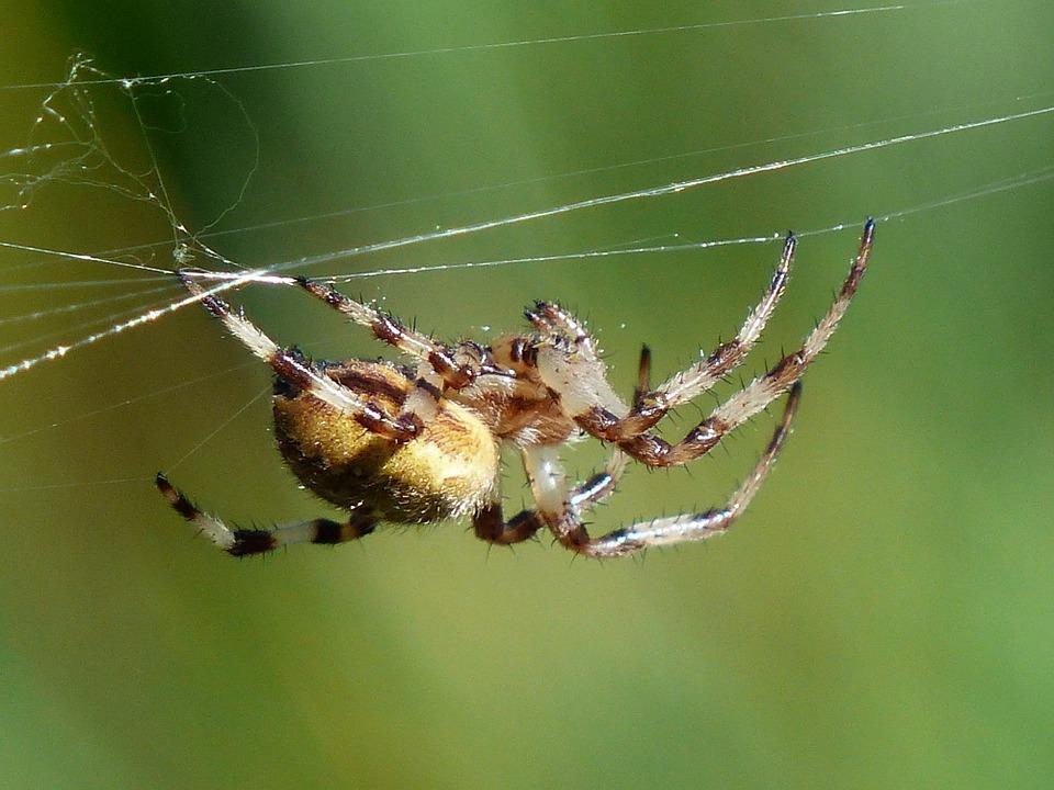 Free photo Cobweb Oakleaf Orb Weavers Bottom Spider Arachnid.
