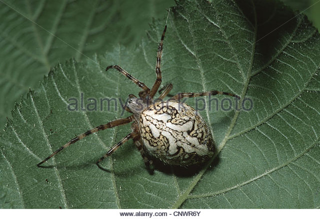 Spider On A Twig Stock Photos & Spider On A Twig Stock Images.