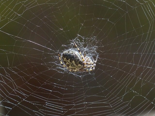 Free photo Oakleaf Orb Weavers Spider Toxic Oakleaf Kreuzspinne.