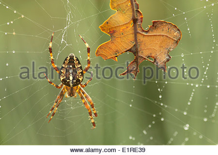 Orb Weaver Spiders Stock Photos & Orb Weaver Spiders Stock Images.