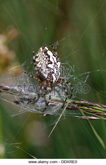 Orbweaver Araneidae Stock Photos & Orbweaver Araneidae Stock.