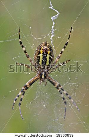 Yellowblack Orbweaver Spider Stock Photo 19363639.