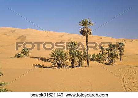 "Stock Photograph of ""Date Palms (Phoenix spec.), in the Libyan."