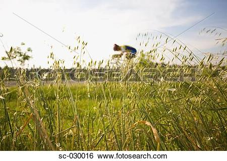 Stock Images of Cyclist riding bicycle seen through oat field sc.