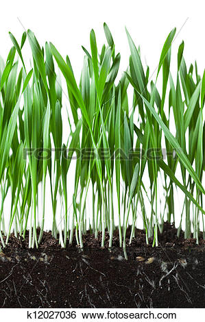 Stock Images of oat grass and roots in soil cross.