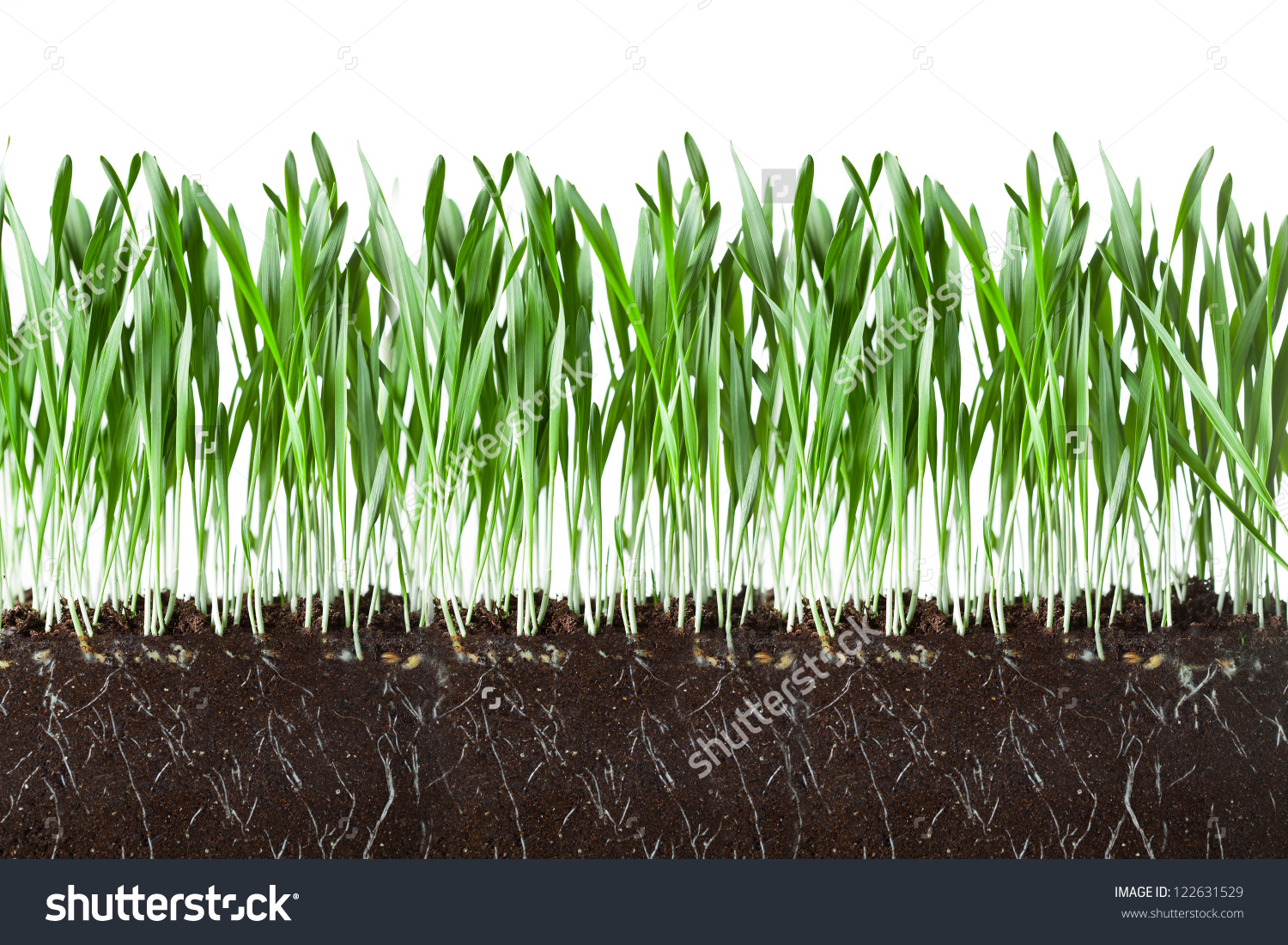 Oat Grass Roots Soil Crosscut Section Stock Photo 122631529.
