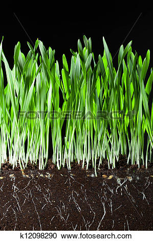 Stock Photography of oat grass and roots in soil cross.