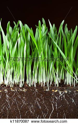 Picture of oat grass and roots in soil cross.