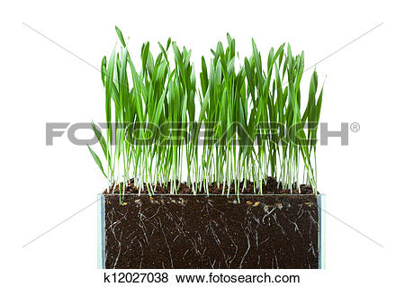Pictures of oat grass and roots in soil cross.
