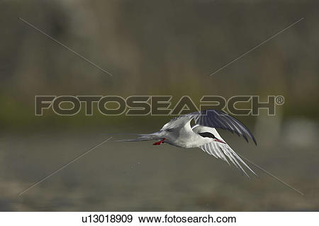 Stock Photograph of Arctic Tern (Sterna paradisaea) flying in Oban.