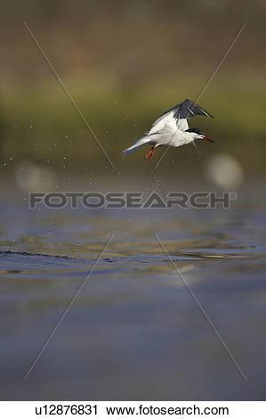 Stock Photography of Common Tern (Sterna hirundo) flying in Oban.