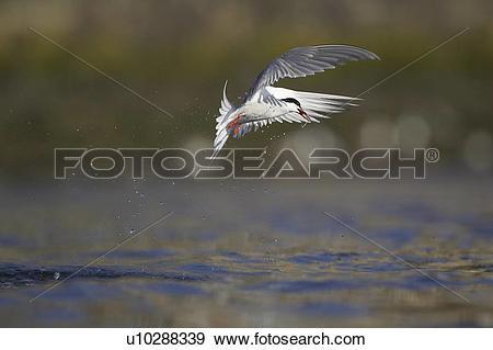 Stock Photograph of Common Tern (Sterna hirundo) flying in Oban.